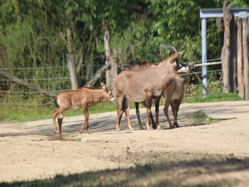 ZOO Zlín, mládě antilopy koňské