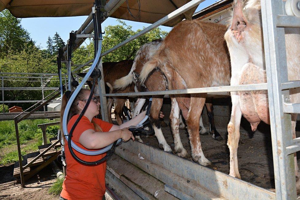 Kozí farma ve Vizovicích 3. června 2021. Po pandemii zápasí s financemi, chybí na žrádlo, kterého stohlavé stádo spořádá téměř 5 tun za měsíc. Praktikantka Eliška Opatrná při dojení.