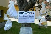 """Luhačovská charita má svůj """"růškovník""""."""