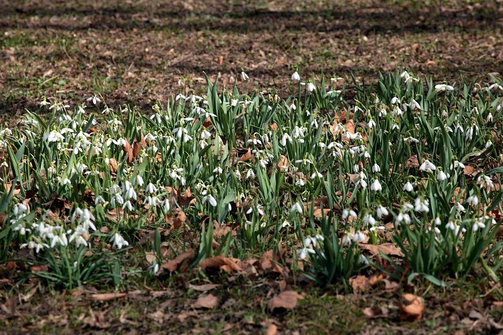 Kvetoucí sněženky v parku na bývalém zlínském hřbitově; neděle 28. března 2021