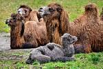 Samička velblouda dvouhrbého, která na svět přišla na konci února, si naplno užívá prostorného výběhu poblíž tropické haly.