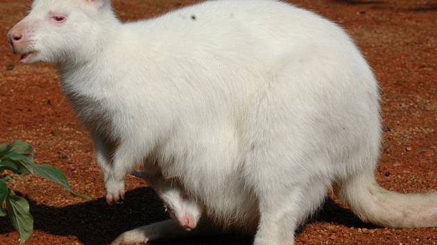 Čerstvě narozené, bílé mládě klokana.