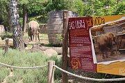 Již za dva měsíce má přijít na svět v Zoo Zlín mládě slona afrického.Zola , Kali i Ulu, musí trénovat každý den.  (Kali).