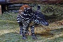 Zlínská zoo patří mezi pětadvacítku evropských zoo, které chovají zhruba 50 jedinců těchto jedinečných zvířat – tapírů čabrakových.