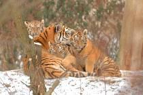 V Zoo Lešná Zlín představili trojici tygřat