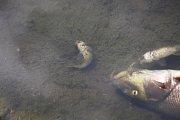 Úhyn ryb v Dřevnici ve Zlíně