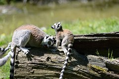 Ve zlínské zoo se radují s přírůstků plameňáků a lemurů