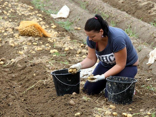 Sklizeň brambor na poli u Malenovic.