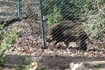 Divočáka v zoo napadly hyeny