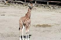 Ve čtvrtek dopoledne se poprvé ukázalo návštěvníkům ve venkovním výběhu zoologické zahrady v Lešné u Zlína desáté mládě žirafy Rothschildovy, které se zde narodilo. Sameček Balagun přišel na svět 12.května.