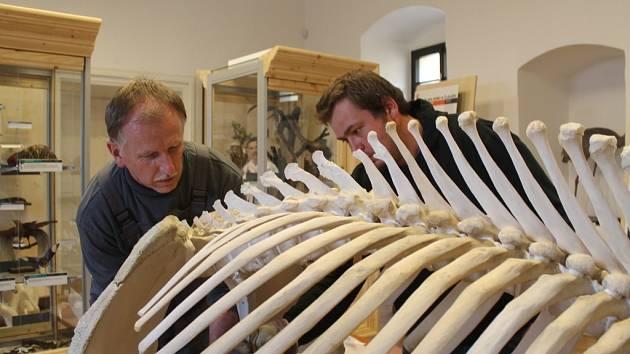 NÁROČNÁ PRÁCE čekala preparátora Benjamina Hlivku při kompletaci sloního skeletu. Komplikovala ji osteoporóza slonice a další vrozené vady.