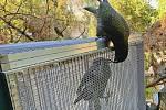 Zlínská zoo chová papoušky nestor kea od roku 2004