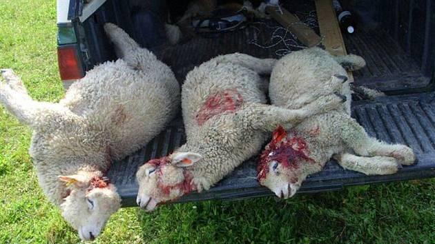 Mrtvé ovce v Lípě