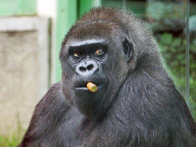 Gorilí samice Judita ze zoologické zahrady, když slavila 45 narozeniny.