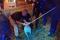 Strážníci ve Zlíně zachraňovali v pondělí kočku i prase.