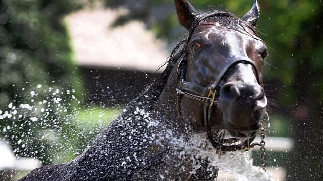 Sprchování koní v hřebčíně v Napajedlech.