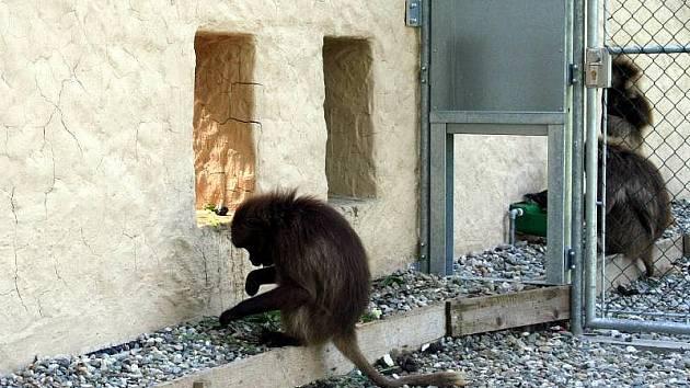 Zlínská zoologická zahrada dobudovala soustavu expozic s názvem Etiopie.