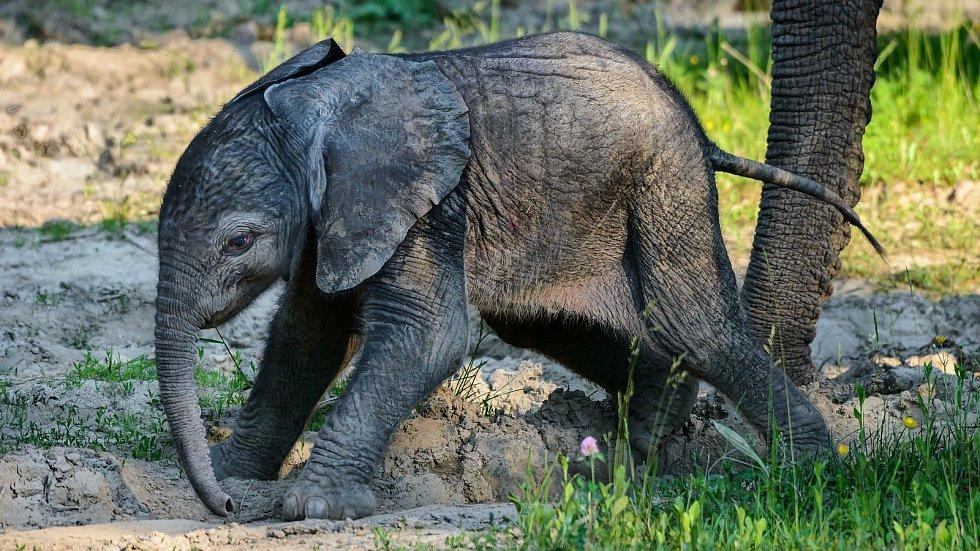 Mládě slona afrického ve zlínské zoo, červen 2021