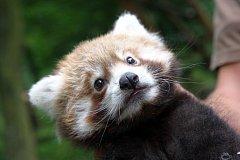 Mládě pandy červené v ZOO Lešná ve Zlíně. Ilustrační foto