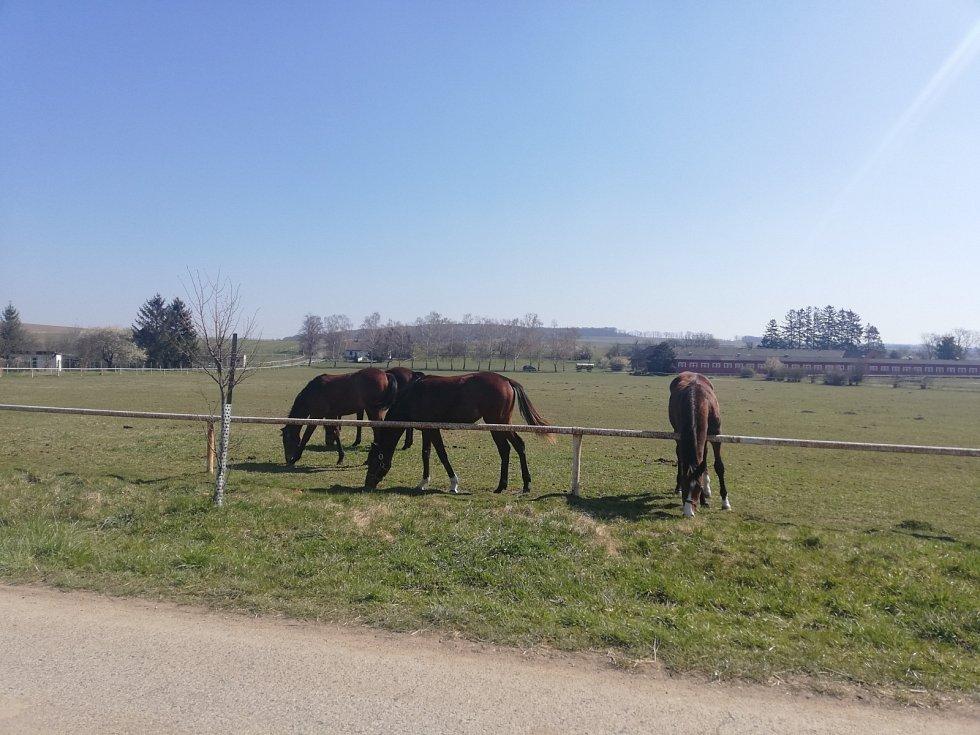 Napajedla, koně ve výběru