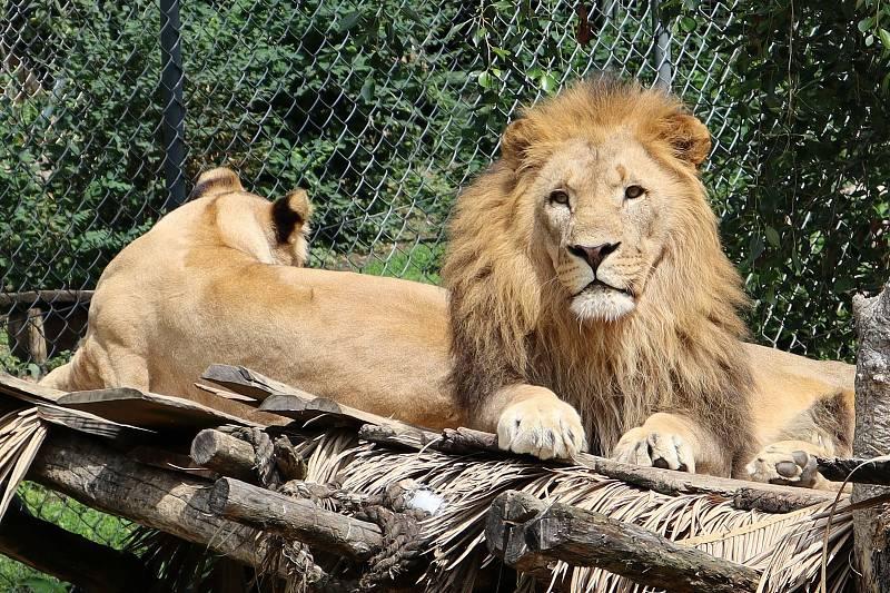 Lvi konžští ve zlínské zoo.