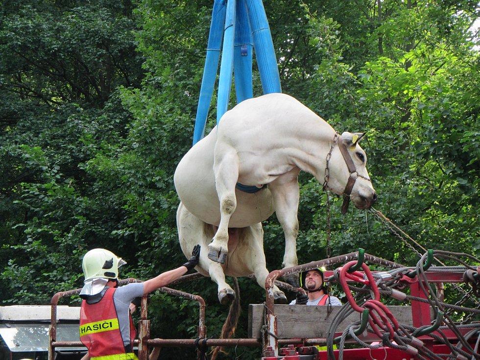 Kráva uklouzla do příkopu, zlomila si nohu. Vyprošťovali ji hasiči.
