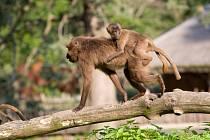 Zlínská zahrada je jedinou českou zoo, ve které návštěvníci mohou vidět mláďata dželad. Letos v březnu se tlupa rozrostla o dalšího samečka.