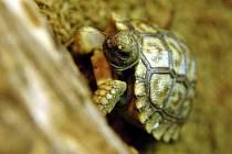 Mimořádným chovatelským úspěchem se může pochlubit zlínská zoo. V inkubátoru se jí vylíhlo první mládě želvy chilské.