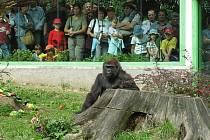 Gorila Judita oslaví v neděli ve zlínské zoo pětačtyřicáté narozeniny.