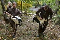 V úterý 27. října 2015 ve zlínské ZOO Lešná stěhovali zvířata z letních expozic do zimovišť, přesouvali i vzácné nesyty bílé.