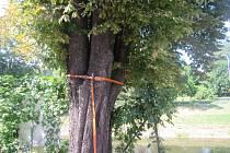 Prasklý strom odstraňovali profesionální hasiči na ulici Havlíčkovo nábřeží ve Zlíně