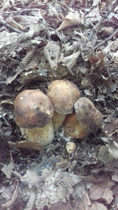 """Od Jiřího Slámy z Pašovic na Slovácku. V okolí své vesnice chodí na hřiby již od jara. """"V každé době - jaro, léto, podzim, rostou na jiném místě, ale rostou,"""" říká vášnivý houbař ze Slovácka."""
