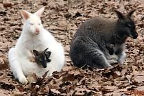 Samice s mláďaty klokana rudokrkého v ZOO Lešná.