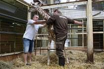 Mládě žirafy rothschildovy v ZOO Lešná