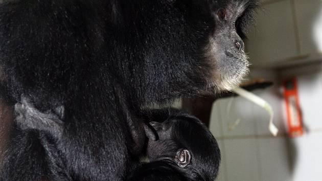 Dospělý gibon s mládětem.