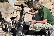 Tučňák Humboldtův, ZOO Zlín Lešná