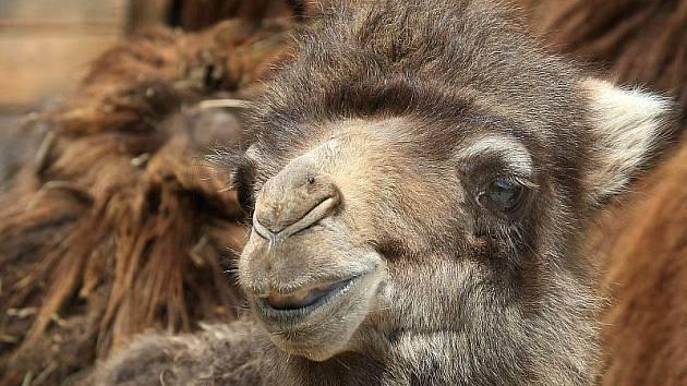 Živý velbloud přijde k betlému před bazilikou v Třebíči