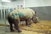 Příjezd samce nosorožce Kashky do zlínské zoo v Lešné