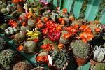 Petr Mamica - pěstitel kaktusů z Otrokovic