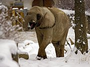 Příprava na inseminaci slonic afrických v ZOO Lešná.