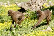 Ve zlínské zoologické zahradě se poprvé narodila dželada hnědá.