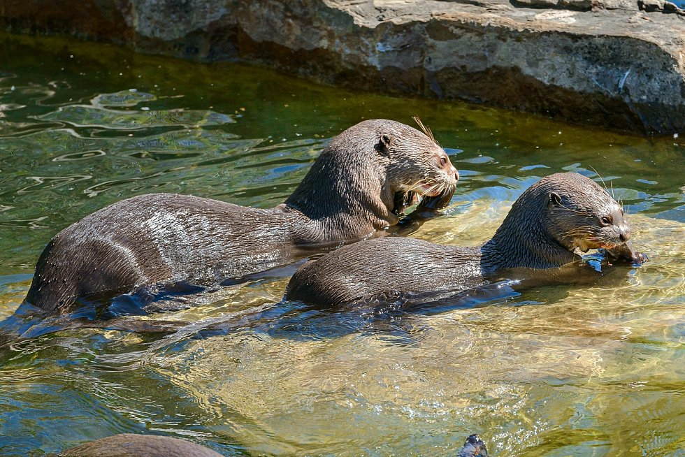 Tři mláďata vyder obrovských se ve zlínské zoo narodila v říjnu 2020.