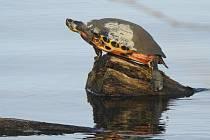 Želvy si u vody užívají jara.