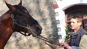 V Hřebčíně Napajedla pracuje 19 zaměstnanců, kteří se starají o 180 koní. Na snímku je jeden ze zaměstnanců s koněm, který se jmenuje Egerton.