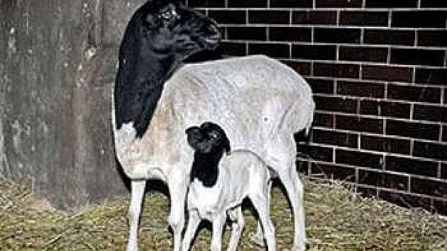 Ovce somálská