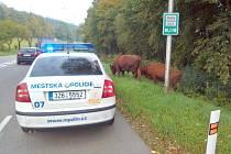 Dopravní komplikaci způsobily ve Zlíně ve středu ráno dvě krávy