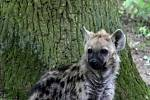 59. ZLÍN FILM FESTIVAL 2019 - ZOO Lešná - Křest mláděte hyeny skvrnité.