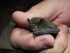 Nejmenší druh netopýra.