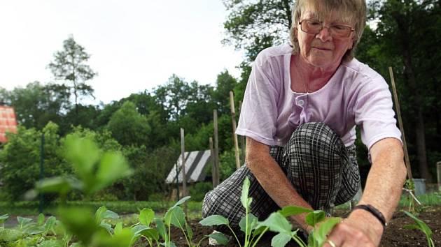Na záhonku. Kedlubny patří mezi nejčastěji pěstovanou zeleninu.