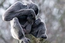 Mládě gibbona stříbrného.
